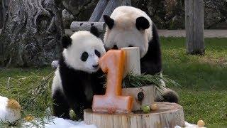 Download 【おめでとう❤】結浜🐼1歳のバースデーパーティ!🎊【ママもお祝い】Giant Panda -Yuihin-☆Happy 1st Birthday party♪ Video