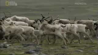 Download Untamed Americas: Mountains-Labrador Wolf and Caribou Sequence Video