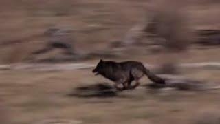 Download Soltaron A 14 Lobos En Un Parque, Pero Nadie Estaba Preparado Para Esto. Increíble Video