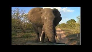 Download 3-2-2016 WildEarth SafariLive Sunset Scott and Dave encounter big Bull Elephant Video