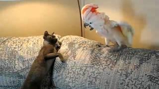 Download Кот Тишка VS попугаиха Пебл: окончание боевых действий (cat vs parrot) Video