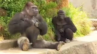 Download шкодные гориллы Video