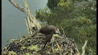 Download Audubon Hog Island Osprey Cam ~ Healthy PS; Bailey Tries To Flap Wings 7.24.17 Video