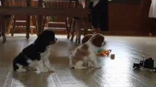 Download King Charles Cavalier Puppies For Sale Video