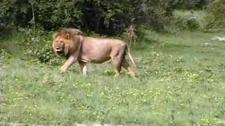 Download Lion Scare at night in our camp. Video