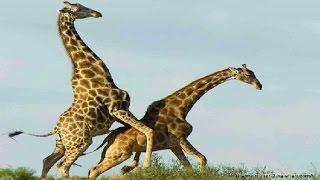 Download Giraffe Vs Giraffe Deadliest Fight Ever Seen - Nat Geo Wild Video