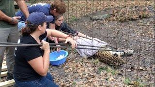 Download Cheetaro Leopard Has a Seizure Video