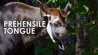 Download Okapi: The Forest Giraffe with a Prehensile Tongue Video