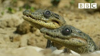 Download Sneaky croc camera captures incredible footage | Spy in the Wild - BBC Video