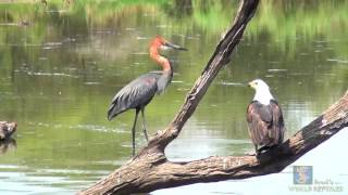 Download Goliath Heron vs African Fish Eagle Video