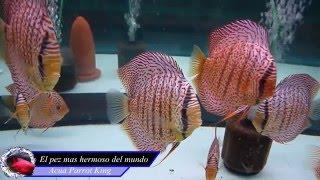Download Los 10 peces de agua dulce mas hermosos del mundo Video