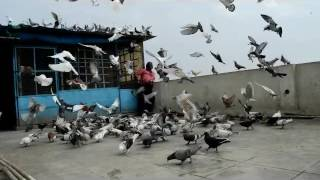 Download ustad sundar singh bhai kabootarbaazi 1500 pigeons tukri 26 jan 2017 special Video