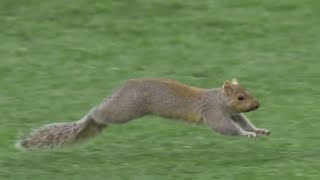 Download Animal Interference in Football Video