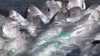 Download Madraba: bluefin tuna net fishing Morocco.La Madrague: une pêche aux thons rouges au Maroc. Video