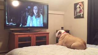 Download Bulldog Reacts To Terrifying Nun Scene in ″The Conjuring 2″ Video