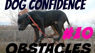 Download buliding dog confidence part 1 pitbull pit bull puppy muscle bully body building Video