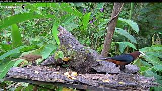 Download Chestnut-headed Oropendola and male Green Honeycreeper, Feb. 15, 2018 | Panama Fruit Feeder Cam Video
