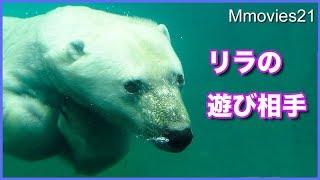 Download リラの遊び相手はアザラシ ララは先読みして逃げる Polar Bear looks for seals Video