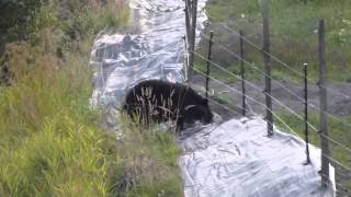 Download bear vs the electric fence.m2ts Video