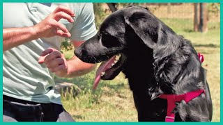 Download Meet Jet: A Labrador Mix Having Problems Getting Adopted | Cesar Millan's Leader Of The Pack Video