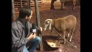 Download Conheça o carneiro encrenqueiro do Paraná - Domingo Espetacular Video