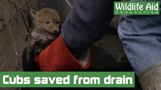 Download Little fox cubs saved from drowning in a storm drain Video