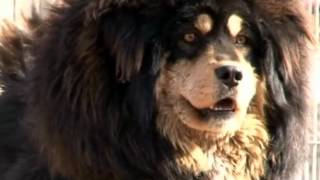 Download Tibetan Mastiff!The Return of the King! Video