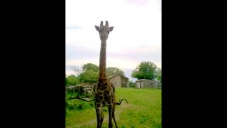 Download How to call Oliver the Giraffe... Video