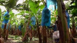 Download DOLE - Harvesting Bananas Video