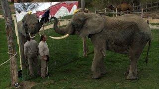 Download So schlau sind Elefanten: Mala erkennt sich selbst Video