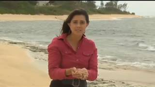 Download Tens of thousands of crustaceans wash ashore along miles of Mokuleia beaches Video