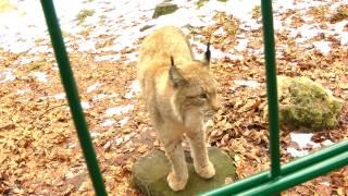 Download Wildpark Hundshaupten: Neros Fauchduell mit dem bedrohlichen Luchs Video