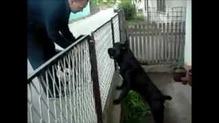 Download Top 10 Most Capable Guard Dogs Video