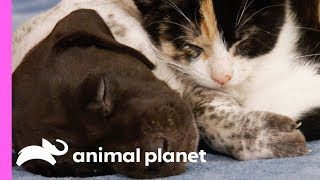 Download Puppy Competes With Kitten To Take Charge Of Her Pack Of Siblings | Too Cute! Video