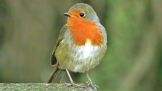 Download Bird Sounds : Robin Birds Singing & Chirping - BEAUTIFUL 8 Hour Video & Bird Sounds Video