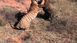Download Tiger Fight Video
