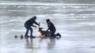 Download Stranded Deer Rescue On The Mississippi River Video