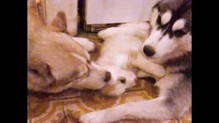 Download 4 Week Old Husky Puppy Meets Dad & Bonds For The 1st Time (TOO Cute!) Mom Still Protects! Video