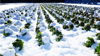 Download Amazing Japan Agriculture Technology - Sweet Vegetable under Snow Harvesting - Snow Farm Video