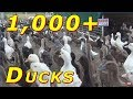 Download 1,000+ Ducks Live Stream 24/7 Video