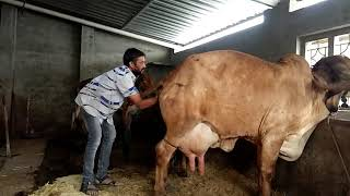 Download Dystocia in cow Video