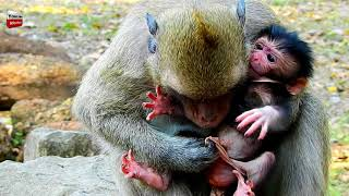 Download Dana wants to cut thing on new baby monkey then baby die/ baby hurts cry loudly Youlike Monkey 1365 Video