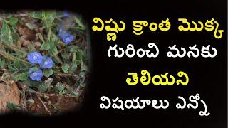 Download vishnukranthi plant in telugu|evolvulus alsinoides benefits|slender dwarf morning glory by ayurveda Video