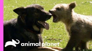 Download A Baby Bear And A German Shepherd Become The Best Of Friends! | Too Cute! Video
