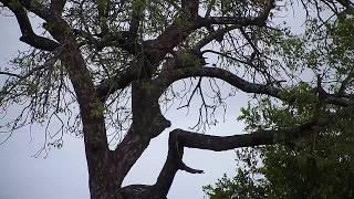Download Djuma: Sights and sounds-Pt:2 - 05:26 - 01/24/2020 Video