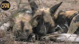 Download safariLIVE - Sunrise Safari - September 16, 2018 Video
