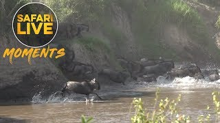 Download The Migration has Reached the Mighty Mara River Video