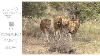 Download Huge Mohlabetsi male coalition at Pondoro Video