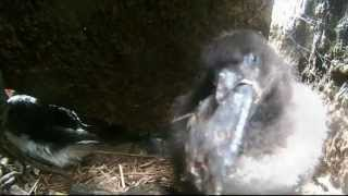 Download Puffin Chick Eating a Butterfish Video
