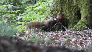 Download Natuurvideo - Eekhoorn maakt haar nest Video